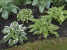 Yes, you CAN eat hostas! Here's how to harvest them, the tastiest bits and some delicious recipes - as well as our growing guide for hostas. Hosta Plants, Foliage Plants, Herbaceous Perennials, Flowers Perennials, Hosta Care, Forest Garden, Low Maintenance Garden, Ornamental Plants, Edible Plants