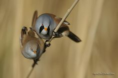 male and female bearded tit