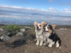 All About Fun Pembroke Welsh Corgi Puppies Grooming Cute Corgi Puppy, Corgi Dog, Cute Dogs And Puppies, Dachshund, Animals And Pets, Funny Animals, Funny Dogs, Cute Little Animals, Cute Creatures