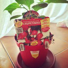 Chupetinho Chilli Plant, Planter Pots