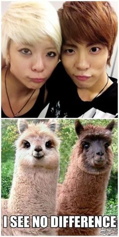 really I see no difference I mean they look just like the llamas LOL    lo que encontre en facebook no se de quien es pero le quedo ready  I found this on facebook I dont know who is it from but i know that its funny  #Humorous