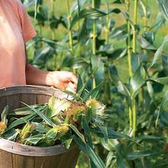 How to Grow Corn: There's nothing like the tste of sweet corn picked fresh from the garden, here's how to get it!! PLEASE TELL ME! My corn plants die - I still have about 1/2 a dozen left!