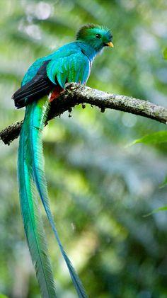 Quetzal; National bird of Guatemala.