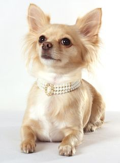 {Dog pearl necklace}
