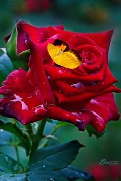 Butterfly on rose Flowers Gif, Love Flowers, My Flower, Special Flowers, Pretty Roses, Beautiful Roses, Romantic Roses, Gif Rose, Rose Of Sharon