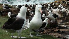 The beautiful Black Browed Albatross on Saunders Island