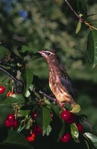 Birds use fruit trees as a food source, but there are methods to keep birds away.