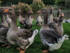 Toulouse Geese - a breed of domesticated goose originating near Toulouse, France. It is a large bird, with a weight of up to 9 kg,and is known for its ponderous appearance and large dewlaps.