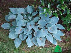 """Хоста гибридная """"Блю Кадет"""" (Hosta hybrida Blue Cadet)"""