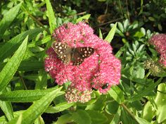Speckled Wood butterfly at Cae Hir Gardens