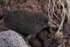 The World's 10 Most Unusual Flightless Birds ~ Inaccessible Island rail