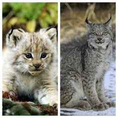 The Canada lynx or Canadian lynx is a North American mammal of the cat family, Felidae. With the recognised subspecies, it ranges across Canada and into Alaska as well as some parts of the northern United States. Wikipedia