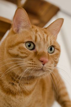 4 Affluent Clever Hacks: Cat Poses Morning Stretches cat names fur. Orange Tabby Cats, Red Cat, Blue Cats, Cute Cats And Kittens, Cool Cats, Cat Character, Russian Blue, Ginger Cats, White Cats