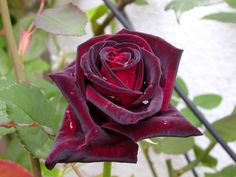 Rosa Black Baccara (Rosa nera/Black rose)
