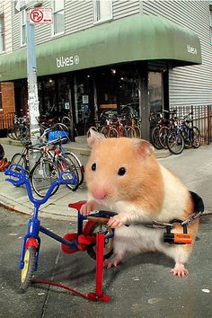 pet hamster named Zoey lives your typical Brooklyn lifestyle.