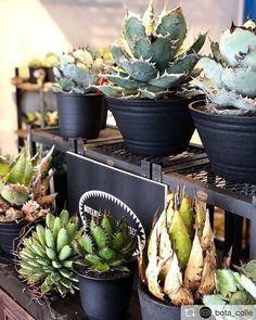 """Repost from @bota_colle @TopRankRepost #toprankrepost 2日目も皆様のご来店お待ちしております。 ・ 「BOTANICAL COLLECTION Season3」 """"For agave & all plants lovers"""" ・ ・ ◾Date:2/10(sat)~2/12(mon) ◾Open 11:00am / Close 20:00pm ・ ・ 【Style Of Chika】の期間限定POP UP SHOPの開催が決定しました。 希少価値の高いPLANTSを名古屋、栄にあるセレクトショップ「Garrot Nagoya」にて展示、販売いたします。 10,11日の2日間は @style_of_chika 氏も来店され、 貴重なPLANTS1株1株のストーリーを直接聞け、触れられる機会となっております。 12日はご不在とはなりますが継続してご覧頂けます 是非ご来場下さい。 ・ ・ ・ info: Garrot Nagoya 460-0008 名古屋市中区栄3-20-26 1F-1 営業時間AM11:00~PM20:00…"""