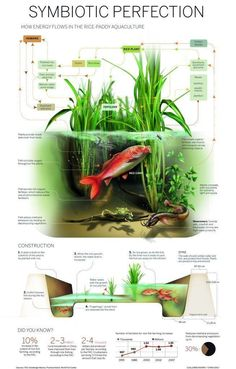 """""""Infographic: Rice-Paddy Aquaculture"""" I've noticed that most permaculture farms and institutes use rice paddies. Aquaponics System, Aquaponics Diy, Aquaponics Greenhouse, Hydroponic Growing, Hydroponic Gardening, Gardening Apron, Vegetable Gardening, Diy Hydroponik, Rice Paddy"""