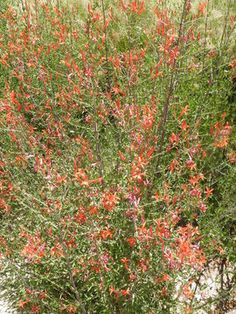 Anisacanthus quadrifidus v. wrightii.	Flame Anisacanthus/Wright's Desert Honeysuckle. Chihuahuan native herbaceous perennial. Tough once established, hummingbird pollinated, butterfly larval host. Full sun (best)/part shade. Fast/moderate grower.
