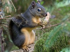 Douglas' Squirrel - Willapa - U.S. Fish and Wildlife Service