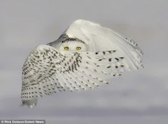 これは確実に殺ってる顔ですわー。シロフクロウの狩りの瞬間をとらえた超絶写真