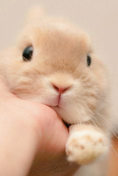 Sooo cute baby bunnies, cute bunny, bunny rabbit, fluffy bunny, little babi Cute Bunny Pictures, Cute Animal Photos, Cute Little Animals, Cute Funny Animals, Cute Baby Bunnies, Cute Babies, Bunny Bunny, Fluffy Bunny, Pet Rabbit