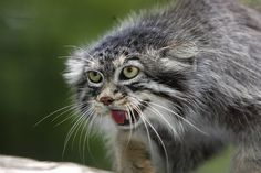 Pallas' Cat, The Wisest Of All Cats