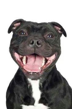 Gotta love a staffy smile