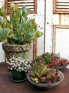 dish gardens: Cremnosedum 'Little Gem'. Sedum stahlii (a parent of the popular Sedum xrubritinctum). Semperviren cltivars. Crassula arborescens 'Undulatifolia'