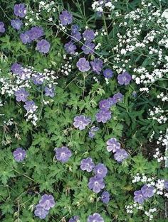Geranium Rozanne PP 12175 (Rozanne's Hardy Cranesbill) : Geranium 'Rozanne' is an amazing geranium that has proven to be an outstanding garden performer...hence, it is one of only a few patented hardy ger...