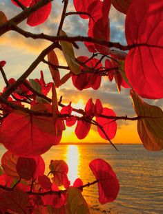 A beautiful Puerto Rico sunset on the Caribbean sea, showing the colorful leaves of the sea grape tree. Grape Tree, Nature Landscape, All Nature, Beautiful Sunrise, Beautiful World, Mother Nature, Fine Art America, Surrealism, Glow
