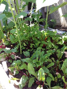 Maria's garden- beets and greens in the shade of sunflowers