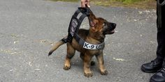 This puppy should be arrested for being too darn adorable.   A photo a German shepherd pup trying on the vest he will eventually grow into on duty with the Boston Police Department K-9 unit went viral after it was posted to Reddit by user grizzlybl...