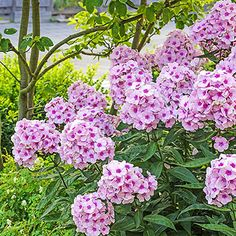 The fragrant, pink flowers on this tall, hardy phlox have dark pink centers. Perfect in cut-flower arrangements. Container Flowers, Plants, Annual Plants, Tall Phlox, Beautiful Flowers, Trees To Plant, Flowers, Tall Flowers, Phlox Perennial