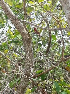 Find the Northern Cardinal on Anna Maria Island year round like this one AMI Bird Nerd found at Leffis Key. #AnnaMariaIsland #BirdWatching