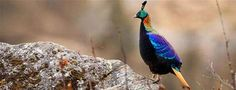Himalayan monal in Sagarmāthā National Park, Nepal - © Patricio Robles Gil/Minden Pictures - BingHomePage