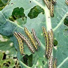 Как избавиться от гусениц на капусте?