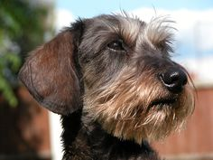 wire haired dachshund - Google Search