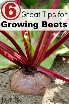 Container Gardening For Beginners 6 Great Tips for Growing Beets - Do you enjoy eating beets? You can grow big, healthy beets in your garden with these 6 important gardening tips.
