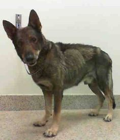 TOMMY (A1799109) I am a male tricolor German Shepherd Dog. The shelter staff think I am about 5 years old. I was found as a stray and I may be available for adoption on 07/15/2016. —MIAMI DADE COUNTY ANIMAL SERVICES. https://www.facebook.com/urgentdogsofmiami/photos/a.477521308948944.116125.191859757515102/1236377323063335/?type=3&theater