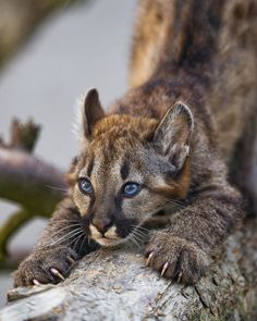 Marlon The Puma Cub With The Bluest Eyes You've Ever Seen