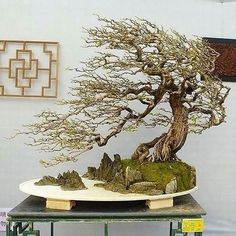 "1,108 Likes, 10 Comments - #bonsai Gram (@bonsaigram) on Instagram: "" from @bonsai_wisconsin"" #bonsaitrees"