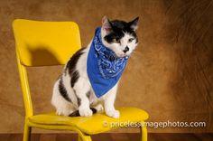 #catpictures #blackandwhite #renopetphotographer #cats #pip #yellowchair #bluebandana