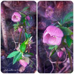 Čemeřice, jaro na zahradě.