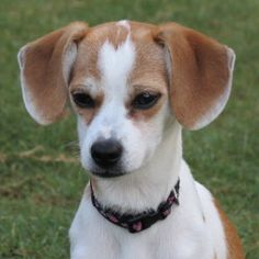 Amanda is an adoptable Jack Russell Terrier Dog in Alpharetta, GA. Amanda is a tiny little JRT/Beagle mix weighing in at about 10 lbs. This little girl loves to play and the whole world is fun to her....