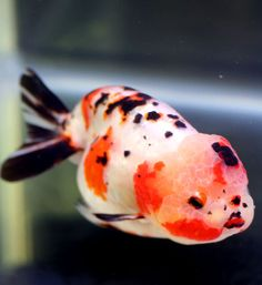Lionhead Goldfish, Oranda Goldfish, Goldfish Tank, Pretty Fish, Cool Fish, Beautiful Fish, Freshwater Aquarium, Aquarium Fish, Aqua Culture