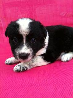 Texas Heeler puppies for sale 75$  http://huntsville.ebayclassifieds.com/dogs-puppies/attalla/texas-heeler-puppies-for-sale-75/?ad=21406726#