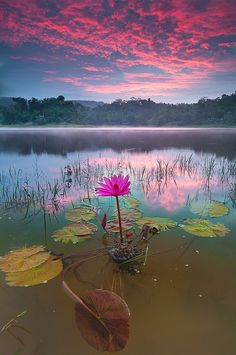 Beautiful lotus and sunset