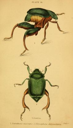 1852 - The natural history of beetles : illustrated by thirty-two plates, numerous wood-cuts... - by James Duncan. -- Related Titles Series: Naturalist's library. Entomology v. 35.