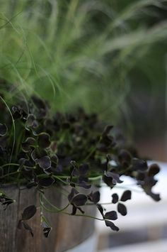 "Trifolium 'Dark Dancer' color is somewhere between chocolate and dark purple. A good edging plant or ground cover, looks fantastic against light green plants. Zones 4-10, under 6"" tall, sun to partial shade, average water needs."