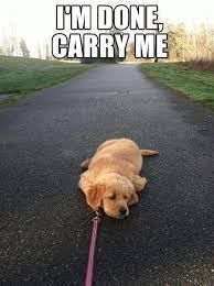 Golden Retriever Puppy knows his limit.-- this is exactly like my German Shepard/Golden Retriever puppy Love My Dog, Puppy Love, Cutest Puppy, Animal Memes, Funny Animals, Cute Animals, Animals Dog, Animal Quotes, Puppy Quotes